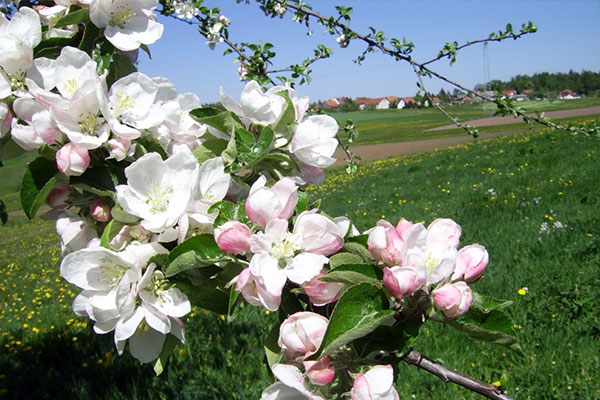 Blühende Bäume, im Hintergrund der Nachbarort Haid